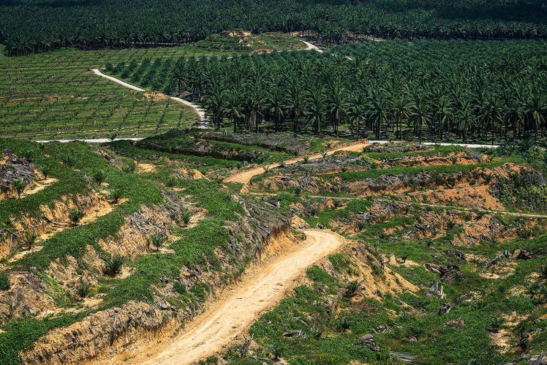 Palmöl-Plantagen