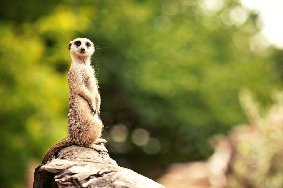 Erdmännchen (Meerkat) steht auf einem Baumstamm