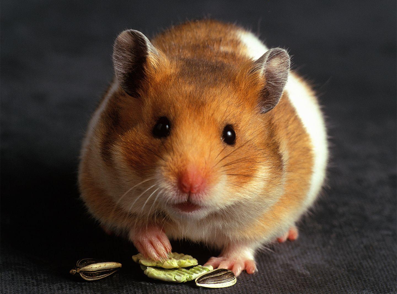 Hamster schaut frech in die Kamera