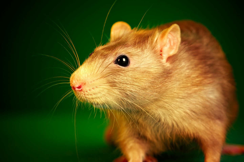 Ratten sind zutrauliche Haustiere