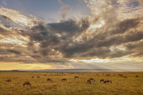 Tropisches Grasland: Savanne (Kenia, Masai Mara)
