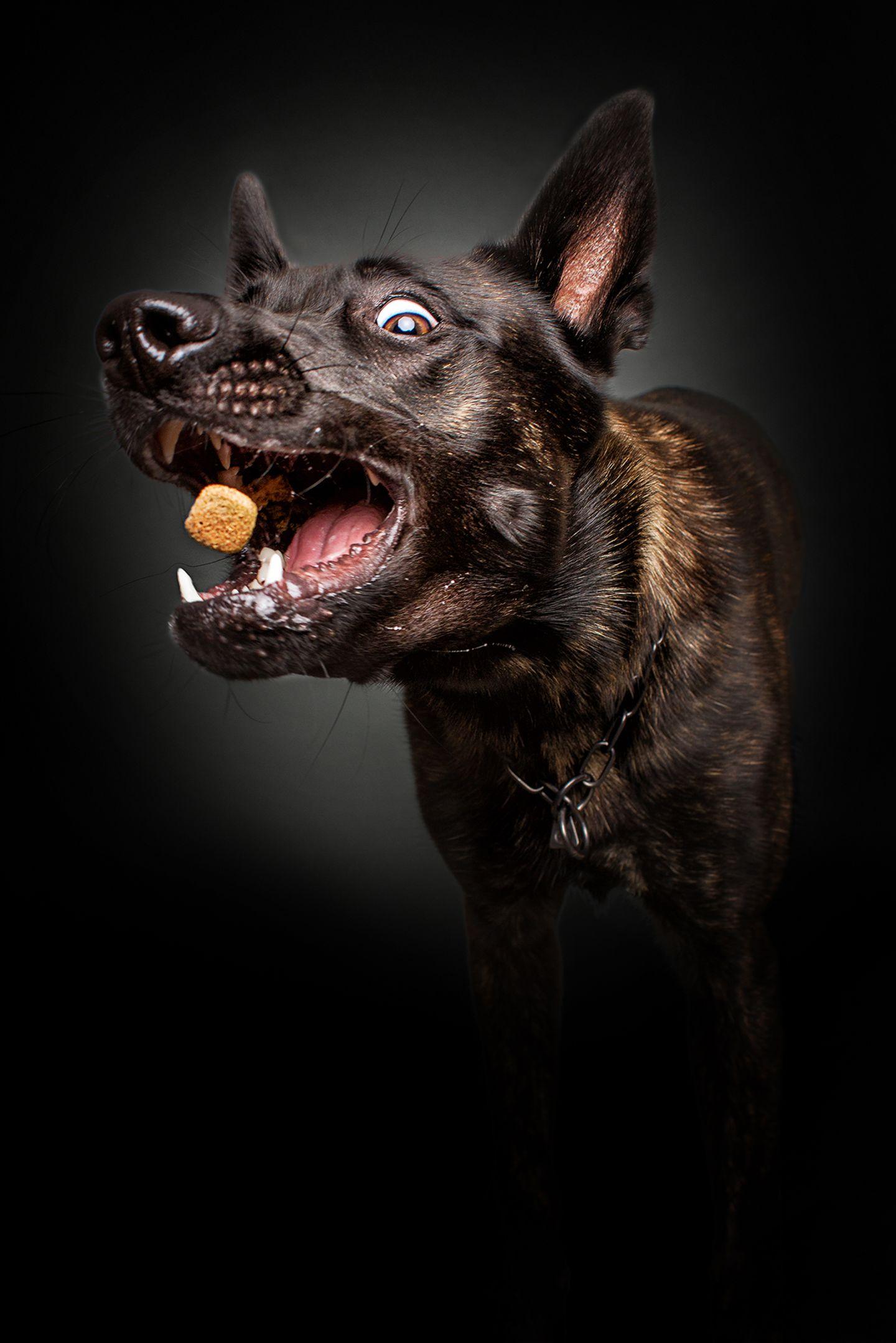 Balko, Hollaendischer Schaeferhund