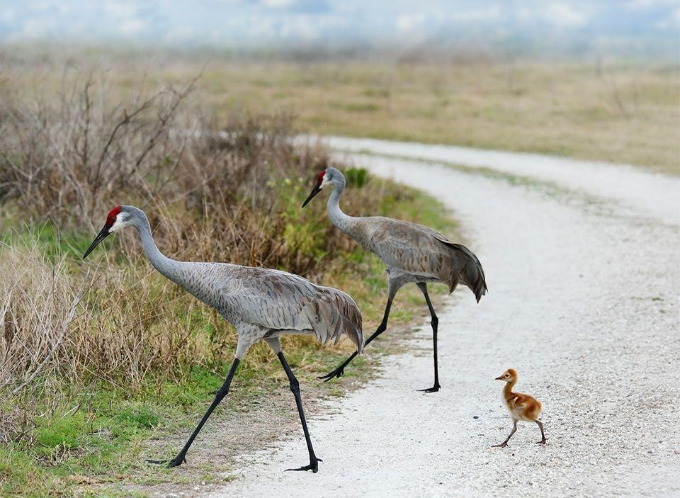 Kanadakranich Eltern mit einem Küken laufen durch die Natur