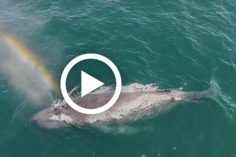 Wal pustet Regenbogen