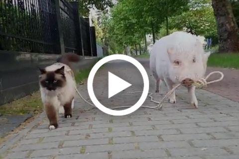 Schwein führt eine Katze Spazieren