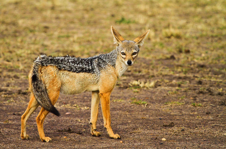 Der Schakal ist ein Wildhund