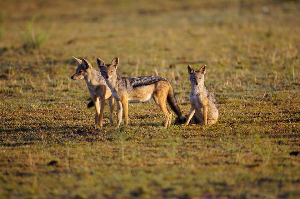 Drei Schakale in der Wildnis