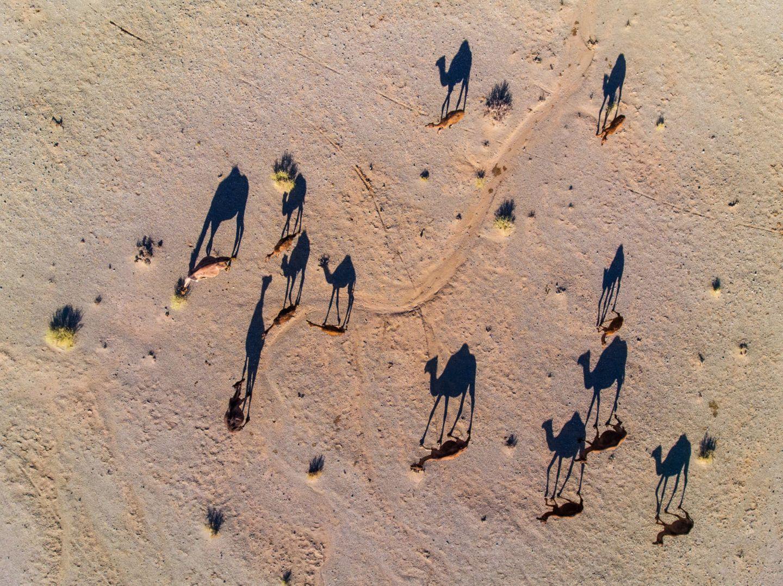 Kamele werfen lange Schatten