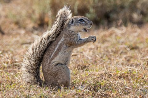 Afrikanisches Kap-Borstenhörnchen