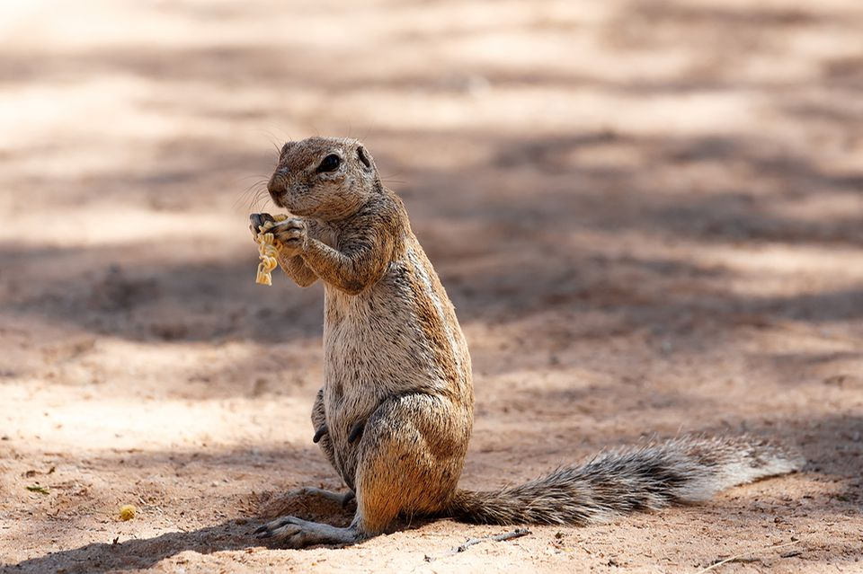 Ein  Kap-Borstenhörnchen bei der Futtersuche