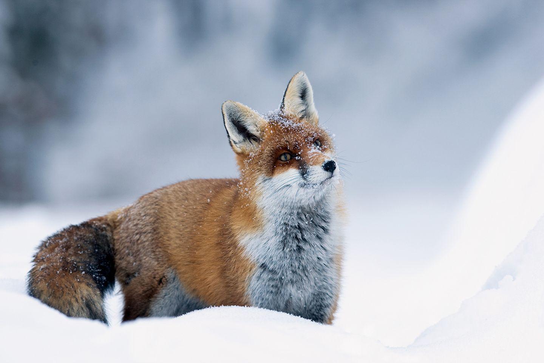Fähe steht aufmerksam im Schnee
