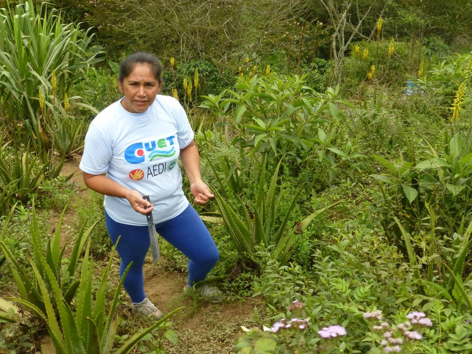 Ecuador: Germania Haro von der Kooperative El Rosal bei der Ernte von Aloe Vera