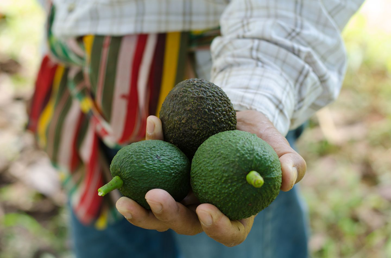 Frisch gepflückte Avocados