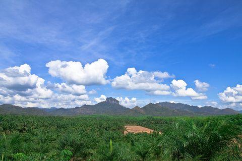 Sicht von oben auf eine Palmöl-Plantage