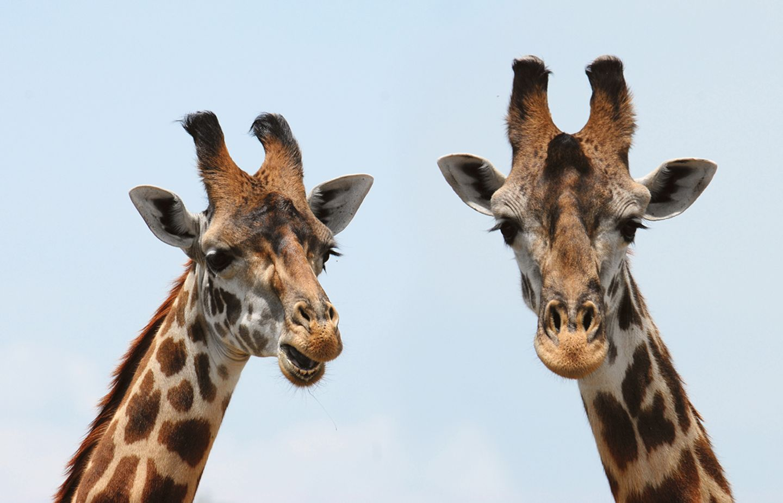Zwei Giraffen vor blauem Himmel
