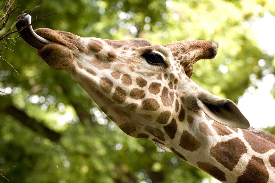 Giraffe frisst vom Baum