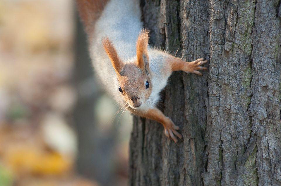 Ein Eichhörnchen klettert einen Baumstamm hinab