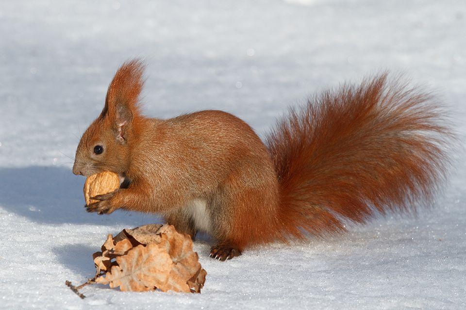 eichhörnchen  tierlexikon für kinder  geolino