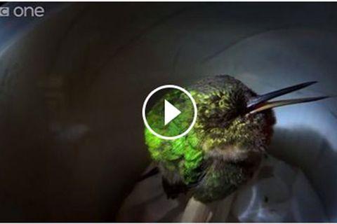 Schnarchender Kolibri