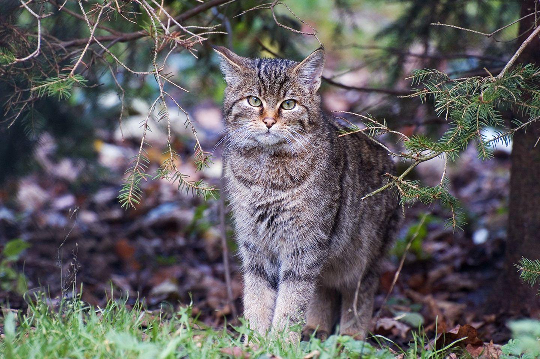 Wildkatze im Wald