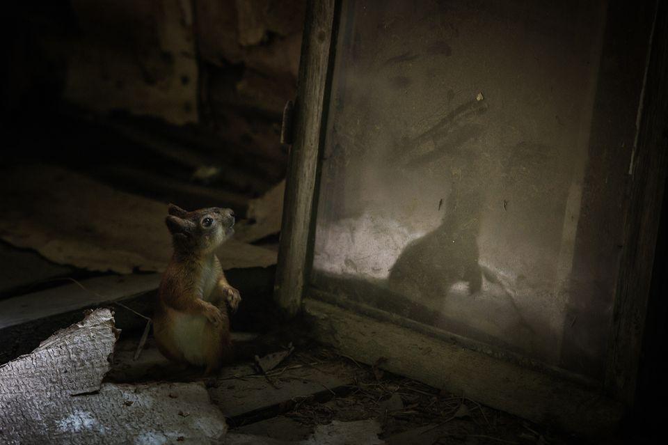 Das Eichhörnchen entdeckt sich im Spiegel