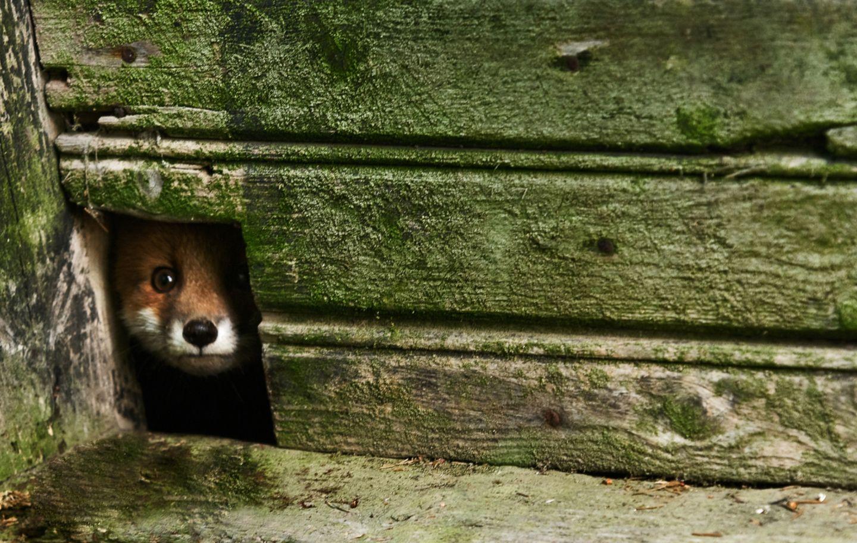 Ein Fuchs blickt durch die Holzwand