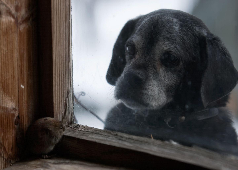 Hund beobachtet Maus durch Fenster