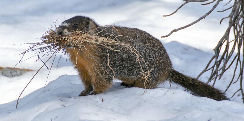 Murmeltier im Schnee