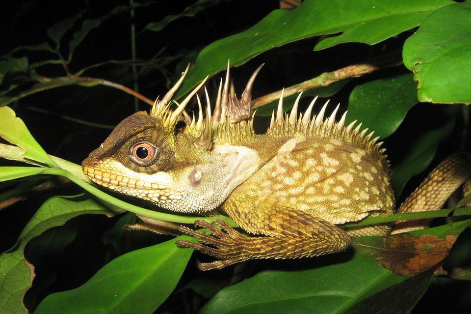 Acanthosaura phuketensis