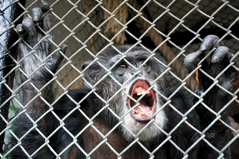 Tommy, Schimpanse
