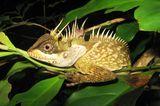 Die Eidechse Acanthosaura phuketensis
