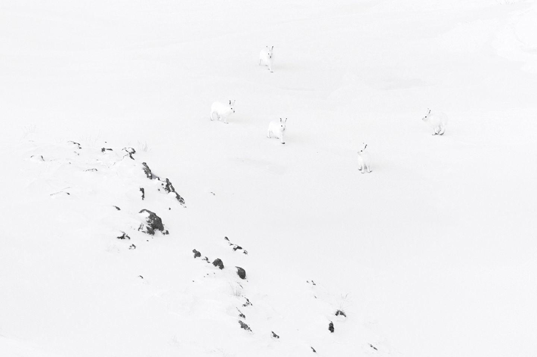 Polarhasen