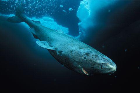 Grönlandhai, Foto von Paul Nicklen/Getty Images