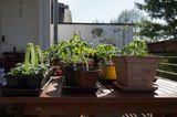 Tomatenpflanzen, Balkon
