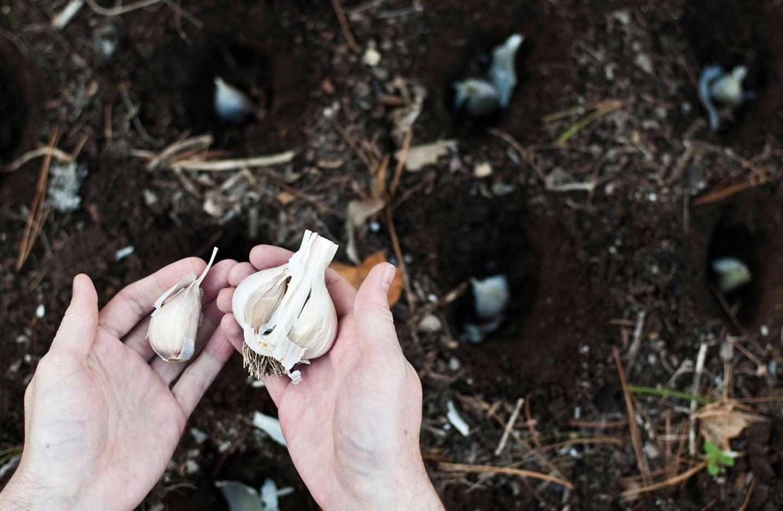 Knoblauch pflanzen