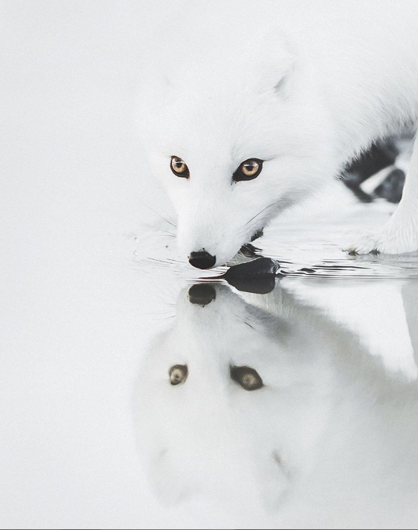 Ein weißer Fuchs