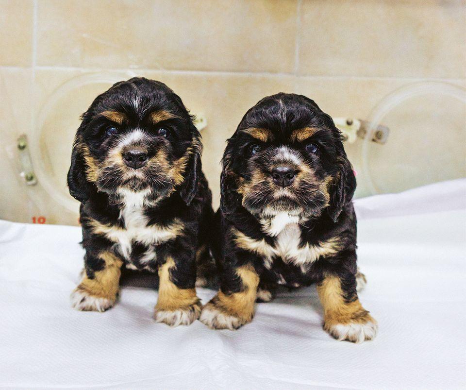 Zwei geklonte Hunde