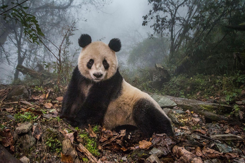 Panda liegt auf einer Lichtung