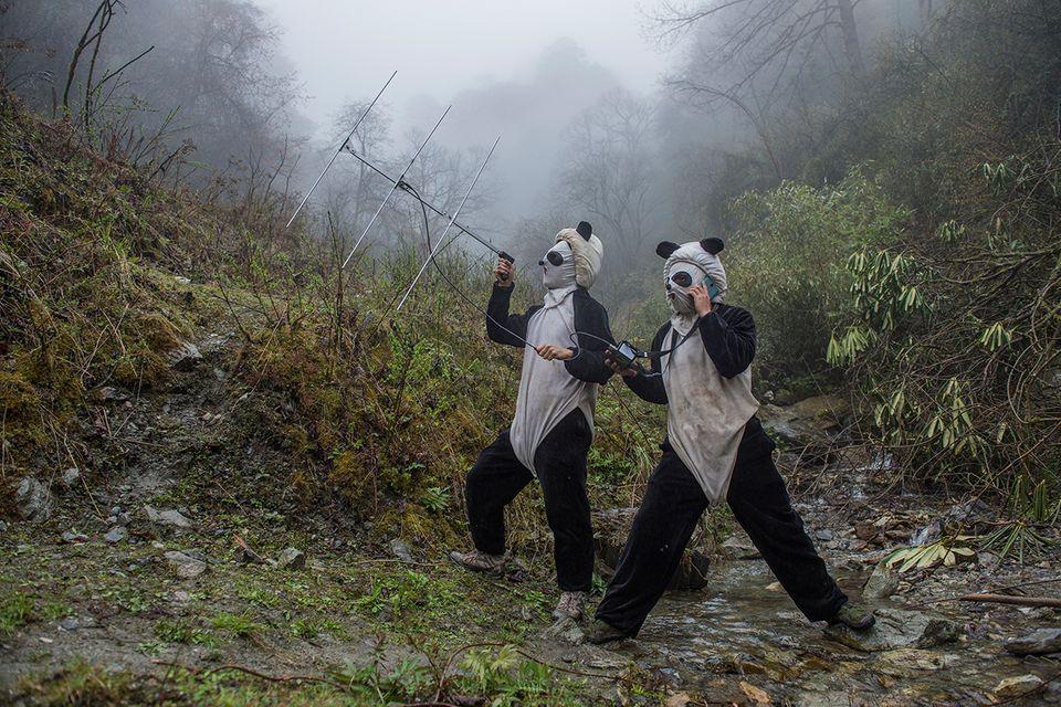 Pfleger im Pandagehege mit Sender