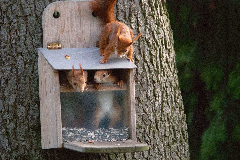 Eichhörnchen im Futterkasten