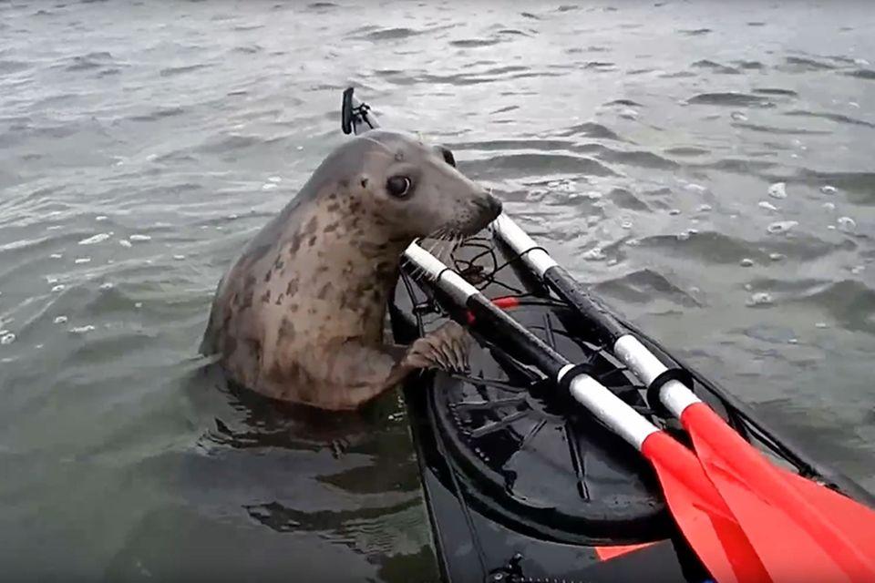 Robbe fährt per Anhalter auf einem Kajak