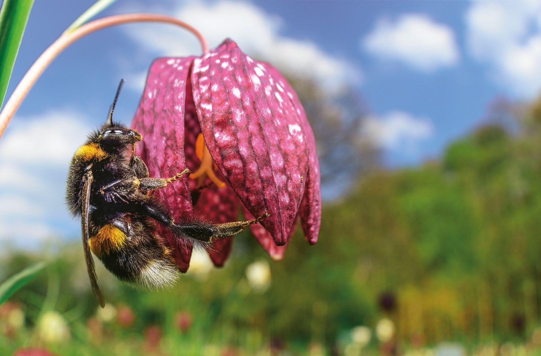 Erdhummel an Blüte