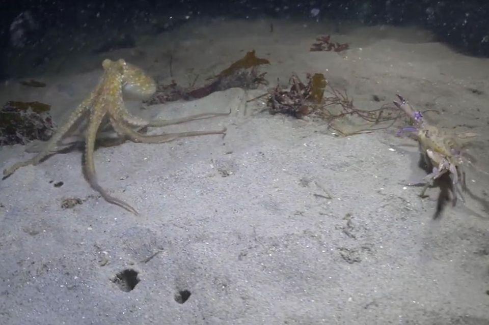 Krake gegen Krabbe
