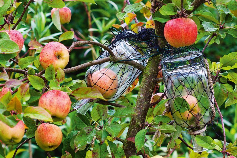 Apfel in der Flasche am Baum
