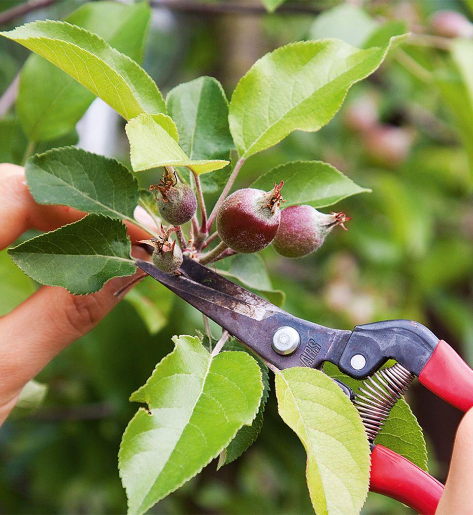 Früchte des Apfelbaums