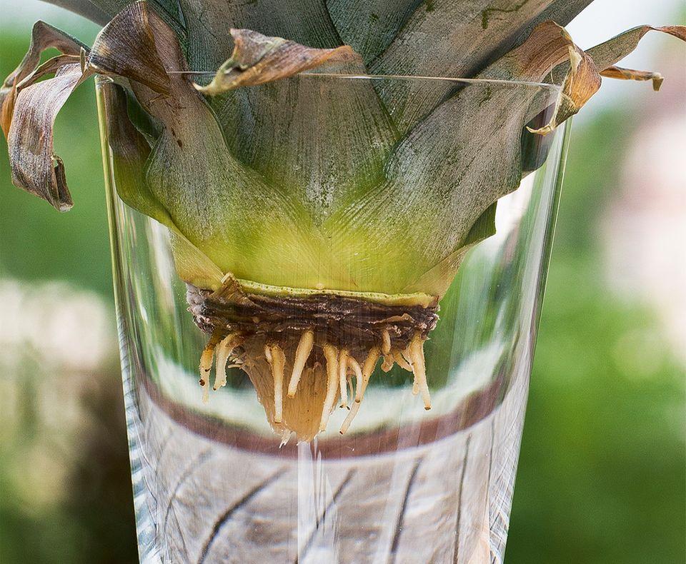 Wurzeln der Ananas Pflanze