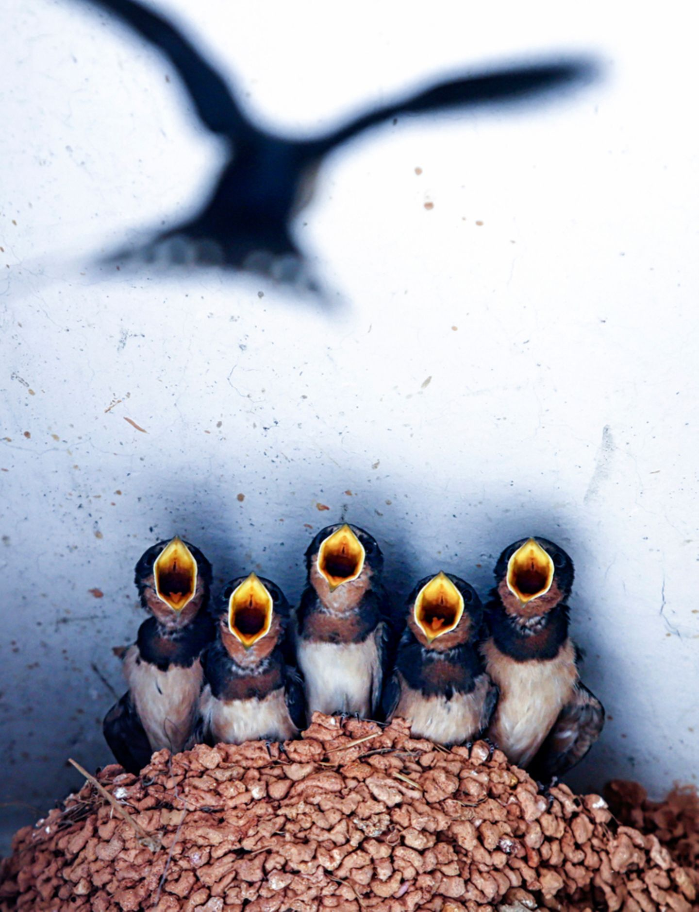 Image Name: mom's baby  Photographer Name: Fan Chen  Year: 2017  Image Description: <p>lovely swallows are waiting for mother t…
