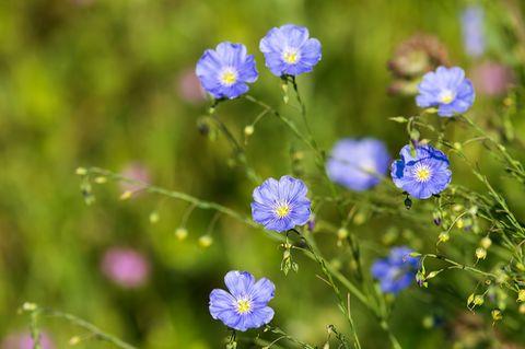 Liia Blüten