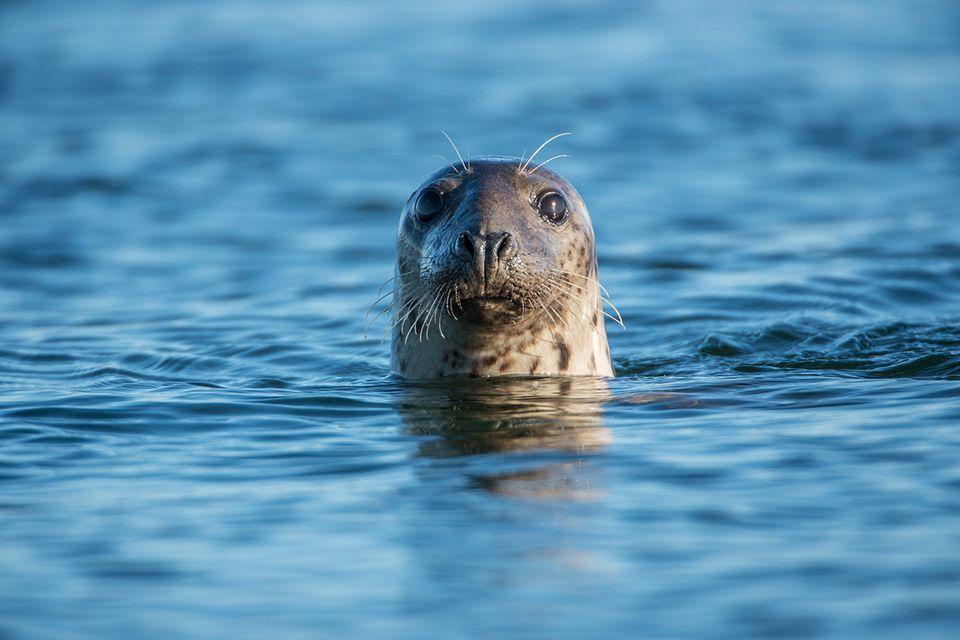 Seehund im Meer
