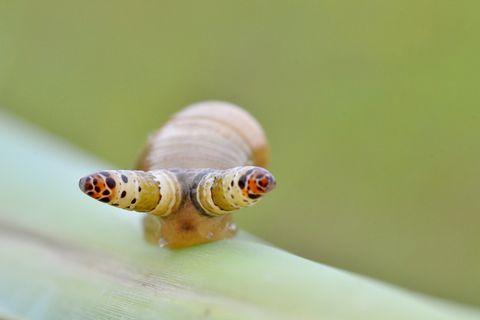 Parasit tötet Schnecke